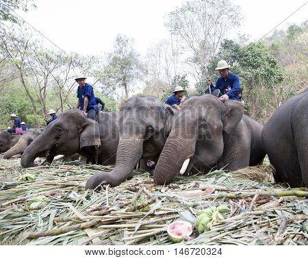 Chiang Mai Thailand,13 March 2016:thai Mahouts Ride On Elephants Enjoying Various Kind Of Fruits And
