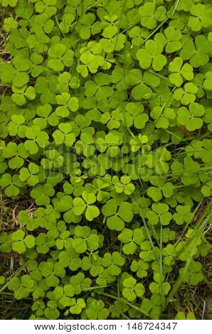 A patch of clover in a forest in Perthshire Scotland UK