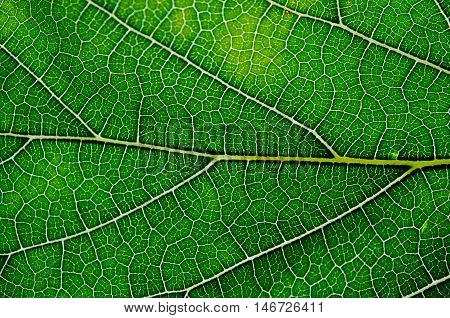 Mulberry Leaf Texture Abstract Background With Closeup View On Veins