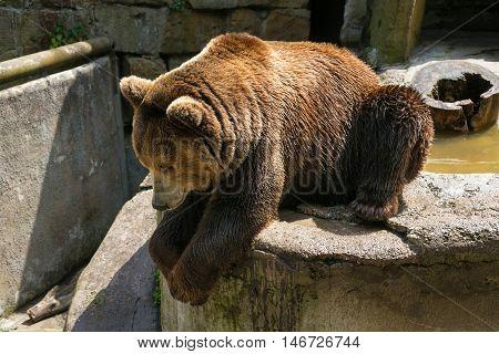 Big brown bear in Kaliningrad Zoo. Russia.