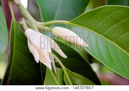 Champaka Beautiful And Aroma Flower On The Tree