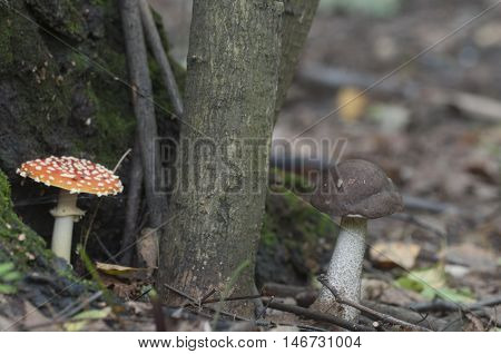 Toadstool and brown birch bolete mushrooms near the forest tree closeup