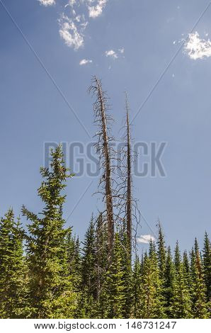 Two stark bare trees towering over a forest of evergreens against a blue sky with a few wisps of clouds