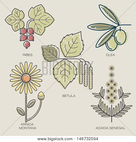 Medicinal herbs berries red currants fruit of the olive tree birch leaves arnica flower acacia branch. Vector illustration stylized plant icons.