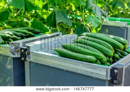 Closeup of newly harvested cucumbers piled in a picking cart in the greenhouse of a specialized organic cucumber nursery in the Netherlands.
