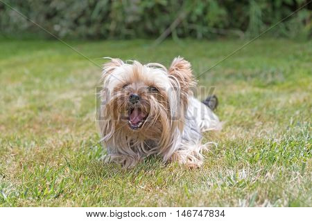 Front view of the Yorkshire Terrier lying on the lawn and is smiling at the camera