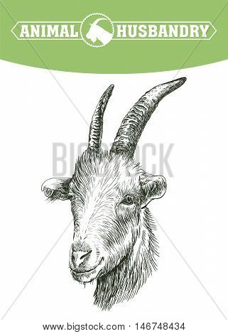 sketch of goat head drawn by hand on a white background. livestock. animal grazing