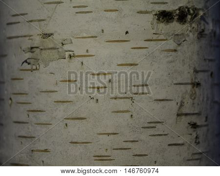 texture of birch derava, birch, close, background
