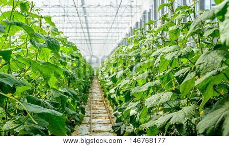 Yellow blossoming cucumber plants in a modern specialized Dutch cucumber nursery. The plants are grown on substrate in a high greenhouse.