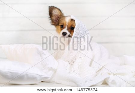 cute puppy Papillon breed lying on pillows