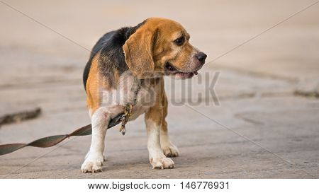 Beagle dog standing on the cement floor.
