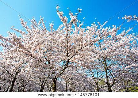 Japanese white cherry blossom in spring