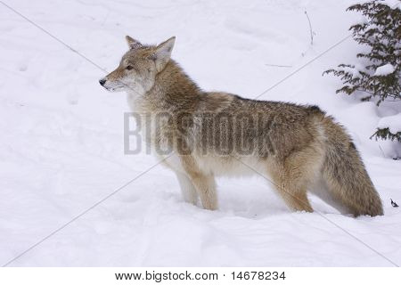 Coyote Profile View