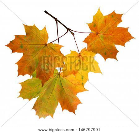 Branch of autumn maple leaves isolated on white background