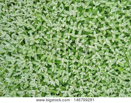 Closeup of Natural Tiny Green leaves background