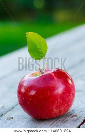 A red ripe Honey crisp apple fresh from the farm.