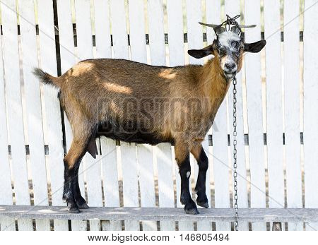 Brown goat on a white wooden fence in Moldova