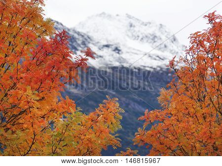 The view of colorful trees in September with a mountain behind (Skagway Alaska).