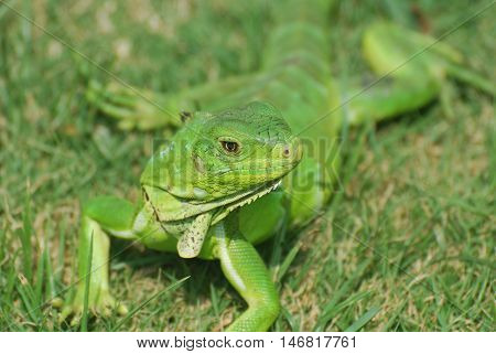 Green iguana stretched out in the warm sunshine on grass.