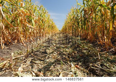 Inside the cornfield, the end of summer season
