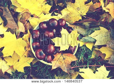 Horse chestnut tree on colorful tree leaves at autumn