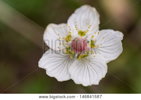 Closeup shot of the flower Parnassia palustris or as it is called