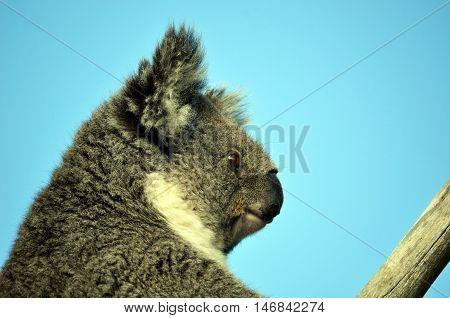 Australian Koala (Phascolarctos cinereus) sitting in a gum tree with blue sky background. Australia's iconic marsupial mammal.
