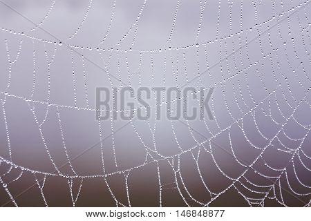 Cobweb With Dewdrops.