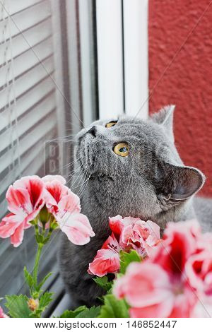 Gray british cat sitting on the window-sill and look in the window.