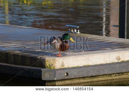 mallard duck on a jetty stretching his paw