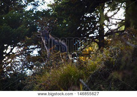 Himalayan Thar goat ( Hemitragus jemlahicus ) in the Everest Himalaya of Nepal