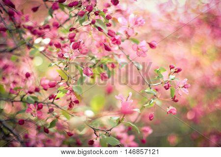 Malus Prunifolia very beautiful blooms in May