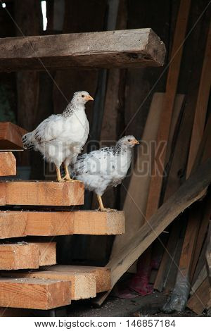 Little chicks amroks sitting at roost on the farm. Domestic bird