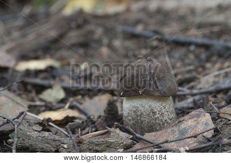 Birch bolete mushroom in a forest in autumn