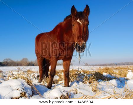 Standing And Looking Horse On Winter Field