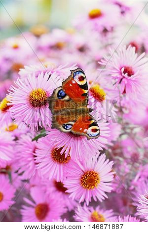 Autumn pink chrysanthemum or aster flowers background with beautiful european peacock butterfly, latin name inachis io. Lovely landscape of nature.
