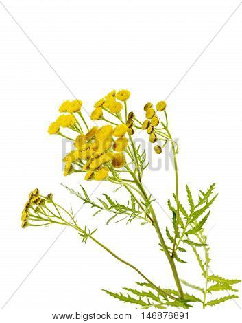 Tansy flowers isolated on white background for your design.