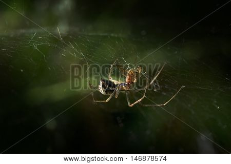 spider sheet weaver (Linyphia triangularis) eats its prey in the net on a forest meadow macro shot with copy space selected focus and narrow depth of field