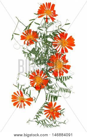 application a bouquet of dried pressing bright orange calendula flowers and small delicate leaves of sweet peas