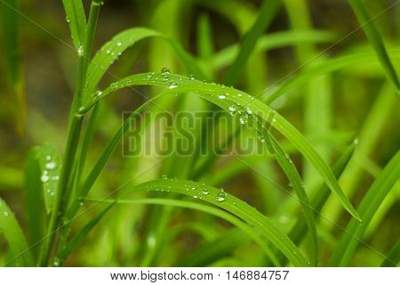 Fresh grass with water drops. Close up of grass