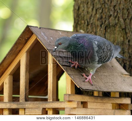 Rock pigeon sitting on wooden feeder in the park