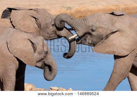Friendly African elephants greeting at the water hole
