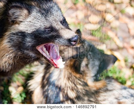 Animal raccoon closeup in the autumn in the daytime