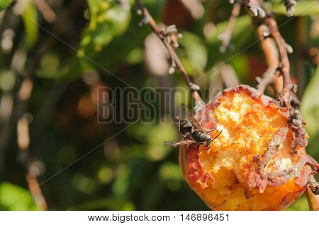 Close-up of a wasp eating peaches on the tree, destroying the crop, with room for your text