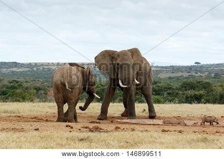 Stand Off African Bush Elephants