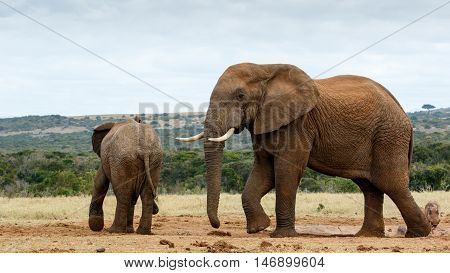 This Is My Water Move - African Bush Elephant