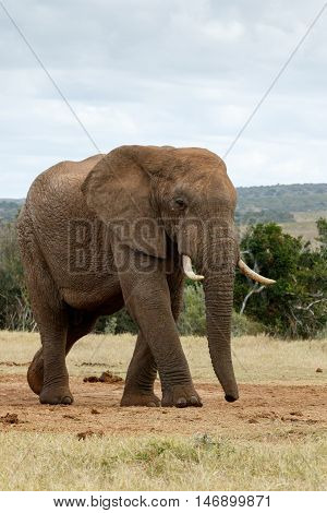 Look At The Huge African Bush Elephant