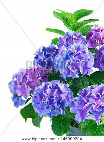 blue and violet fresh hortensia blooming flowers bush with green leaves isolated on white background