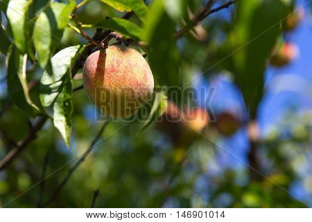 Organic ugly peaches on the tree - selective focus