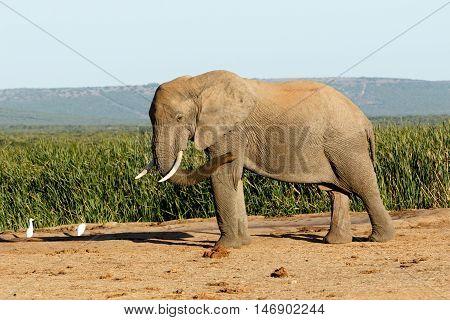 Fly Birds Fly The African Bush Elephant